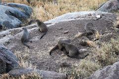 Banded mongooses Royalty Free Stock Photo