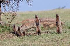 Banded Mongooses On Lookout Stock Image
