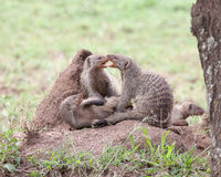 Banded mongooses on a termite mound Stock Photo