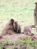 Banded mongooses on a termite mound Royalty Free Stock Photo