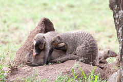 Banded mongooses on a termite mound Stock Image