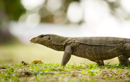 Banded monitor lizard Royalty Free Stock Image