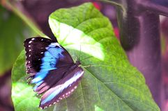 Banded Morpho butterfly on green leaf, Florida Royalty Free Stock Photos