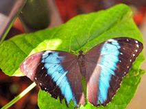 Banded Morpho butterfly on green leaf Stock Photography