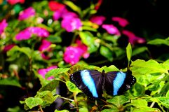 Banded Morpho butterfly. A Banded Morpho butterfly standing on green leaves with mauve flowers in the blurred background, in an aviary in Butterfly World, South royalty free stock photos