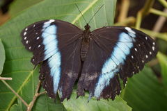 Banded Morpho - Morpho achilles Royalty Free Stock Photography