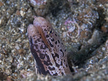 Banded mud moray eel Royalty Free Stock Photography