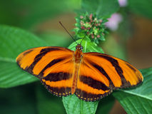 Banded Orange. Butterfly perched on a leaf stock photography