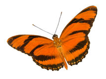 Banded orange butterfly Stock Photo