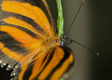 Banded Orange Butterfly Stock Image