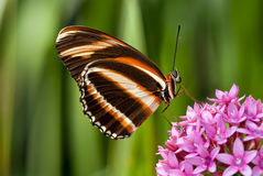Banded Orange butterfly (Dryadula phaetusa) Stock Photography