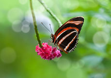 Banded Orange butterfly (Dryadula phaetusa) Royalty Free Stock Photo
