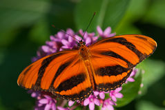 Banded Orange butterfly (Dryadula phaetusa) Royalty Free Stock Image