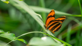 Banded Orange Butterfly Royalty Free Stock Photography