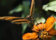 Banded Orange Butterfly (Dryadula phaetusa) Focus on Proboscis. Banded Orange Heliconian Butterfly (Dryadula phaetusa) rests on orange flower - focus on stock photography
