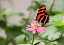 Banded Orange Heliconian Butterfly. The banded orange butterfly, also called the oak tiger butterfly (Dryadula phaetusa) is an orange and black Stock Photo