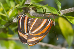 Banded Orange Heliconian (Dryadula phaetusa) Royalty Free Stock Photography