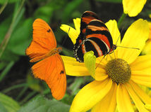 Banded Orange and Julia. A banded orange and a julia butterflies warming up on a flower stock photos