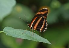 Banded Orange. Underwing shot of a Banded Orange Butterfly stock photo