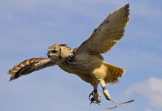 Banded owl. Starts landing on the ground Royalty Free Stock Photography