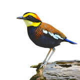 Banded pitta bird Royalty Free Stock Photo