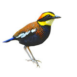 Banded pitta bird Royalty Free Stock Photography