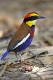 Banded Pitta(male) Royalty Free Stock Photography