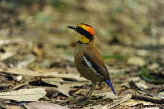 Banded Pitta Royalty Free Stock Image