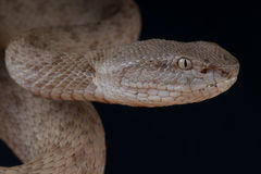 Banded pitviper Royalty Free Stock Photo