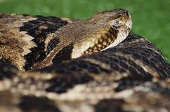 Banded Rattlesnake Royalty Free Stock Photos