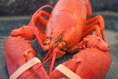 Banded red lobster Stock Photography