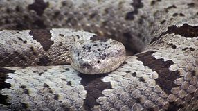 Banded Rock Rattlesnake Royalty Free Stock Photography
