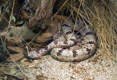 Banded Rock Rattlesnake Royalty Free Stock Photography