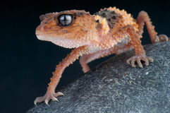 Banded rough knobtail gecko / Nephrurus wheeleri Royalty Free Stock Image