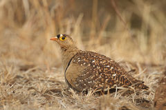 Banded Sand Grouse Royalty Free Stock Images
