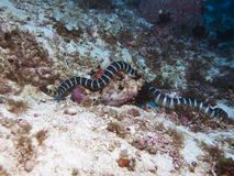 Banded sea krait Stock Image