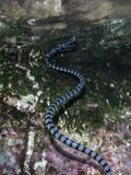 Banded Sea Krait Breathing at Surface. A Banded sea krait, Laticauda colubrina, swims to the surface in Raja Ampat, Indonesia. This remote, tropical region is stock image
