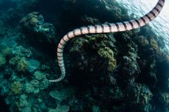 Swimming Banded Sea Krait in Indonesia. A Banded sea krait, Laticauda colubrina, swims towards a coral reef in Wakatobi National Park, Indonesia. This area royalty free stock image