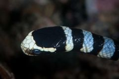 Banded Sea Krait Underwater in Indonesia. Detail of the head of a Banded sea krait, Laticauda colubrina, in Indonesia. This highly venomous reptile is found royalty free stock photography