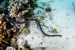 Banded Sea Snake Stock Photo