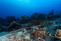 Banded sea snake. Hunting in indian ocean diving in komodo island royalty free stock image