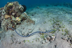 Banded Sea Snake. A Banded sea snake (Laticauda colubrina) swims in Indonesia. This is one of the most venomous snakes in the world stock photos