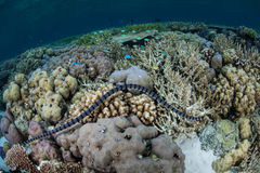 Banded Sea Snake on Reef. A Banded sea snake swims over a diverse reef in Raja Ampat, Indonesia. This region harbors a spectacular array of marine life and Stock Photo