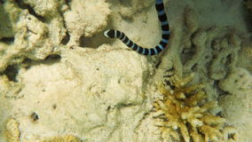 Banded Sea Snake in sea stock video