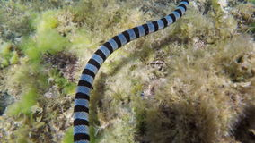 Banded Sea Snake in sea stock video footage