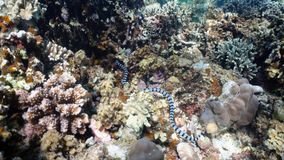 Banded Sea Snake. Sea snake on coral reef. Banded Sea Snake underwater.Wonderful and beautiful underwater world. Diving and snorkeling in the tropical sea stock images