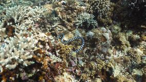 Banded Sea Snake. Sea snake on coral reef. Banded Sea Snake underwater.Wonderful and beautiful underwater world. Diving and snorkeling in the tropical sea royalty free stock photography