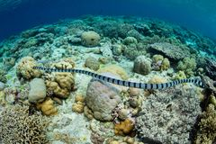 Banded Sea Snake Swimming Over Reef. A Banded sea snake, Laticauda colubrina, searches for small fish to prey upon on a reef in Wakatobi National Park, Indonesia stock photo