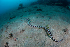 Banded Snake Eel Mimic of Banded Sea Snake. A Banded snake eel mimics the venomous Banded sea snake as it swims in Indonesia. This is called Batesian mimicry Stock Image
