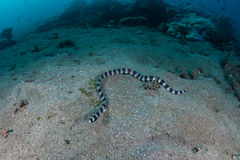 Banded Snake Eel. A Banded snake eel swims across a sand slope near Alor, Indonesia. This eel mimics the highly venomous banded sea snake royalty free stock photos
